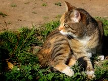 Domestic cat. Photo of domestic cat outside the house Royalty Free Stock Images