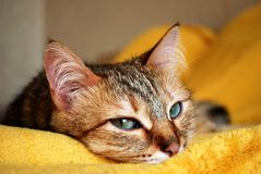 Domestic cat with piercing eyes on a yellow background stock photos