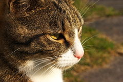 Domestic cat portrait Royalty Free Stock Images