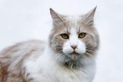 Domestic cat, portrait Stock Photography