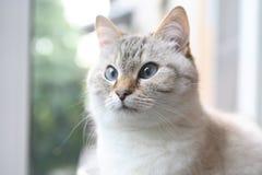 Domestic Cat Portrait. Beautiful domestic gray cat closeup portrait against blur background Stock Images