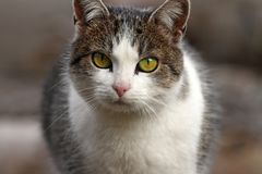 Domestic cat portrait Royalty Free Stock Photos