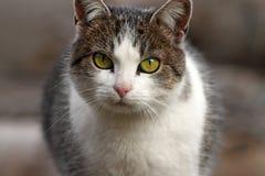 Domestic cat portrait. Closeup of a domestic cat portrait Royalty Free Stock Photos