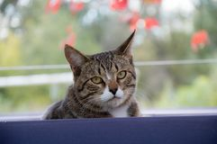 Domestic cat portrait of a pet. Pet cat portrait of a pet in the yard of a country house royalty free stock image