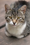Domestic  Cat portrait Royalty Free Stock Photography