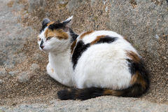 A domestic cat prowling on a rock. A cat prowling on a rock. Outdoors portrait of domestic cat. Color image Royalty Free Stock Image