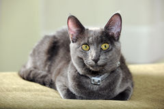 Domestic Cat Resting Royalty Free Stock Photos
