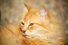 Domestic cat resting outside on the sun. Very peacfuill and nice look to relax stock photography