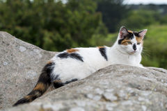 Domestic cat resting on a rock Royalty Free Stock Photo