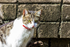 Domestic cat with a ribbon on the neck Royalty Free Stock Photography
