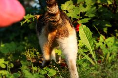 A domestic cat´s ass. Angry cat leaving us after dinner. She wants be alone stock photo