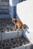 Domestic cat on Satorini island Stock Photos