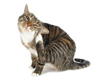 Domestic cat scratching. Studio portrait: Domestic cat scratching royalty free stock photo