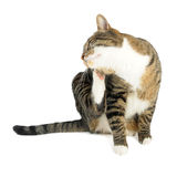 Domestic cat scratching. On white background Royalty Free Stock Photos