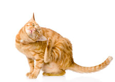 Domestic Cat Scratching Isolated On White Background Stock Photo