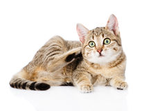 Domestic cat scratching. isolated on white background Royalty Free Stock Photography