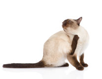 Domestic cat scratching  on white background Royalty Free Stock Photo
