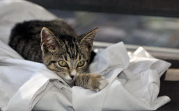 Domestic Cat. A Domestic Short-Haired Cat is a short-haired domestic cat of `mixed ancestry` that does not belong to a recognized cat breed royalty free stock image