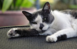 Domestic Cat. A Domestic Short-Haired Cat is a short-haired domestic cat of `mixed ancestry` that does not belong to a recognized cat breed. In the cat fancy stock photography
