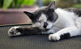 Domestic Cat. A Domestic Short-Haired Cat is a short-haired domestic cat of `mixed ancestry` that does not belong to a recognized cat breed. In the cat fancy royalty free stock photo