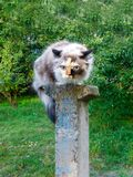 Domestic cat sits on a pole. Scared in outdoor royalty free stock photo