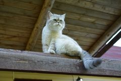 Domestic cat sits under the roof stock photography