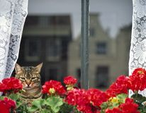 Domestic cat sitting behind a window, staring outs. Domestic cat sitting behind a window and geraniums, staring outside.Reflection in the window of typical Dutch Royalty Free Stock Images