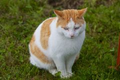 Domestic Cat sitting Outdoors in the Grass. This photo shows a white and yellow domestic cat sitting outdoors in the grass Royalty Free Stock Photo