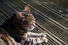 Domestic cat sitting in sun on decking with eyes clsoed royalty free stock image