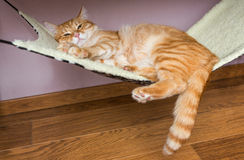 Domestic cat sleep in a fur hammock Royalty Free Stock Photography