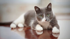 Domestic cat of a smoky-white color Stock Image
