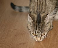 Domestic cat snuffing the parquet Royalty Free Stock Images
