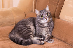 Domestic cat on a sofa Stock Images