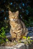 Domestic Cat. A stray domestic tabby cat shot in Buskett Gardens in Malta stock photos