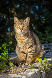 Domestic Cat. A stray domestic tabby cat shot in Buskett Gardens in Malta royalty free stock images