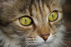 Domestic cat. A tabby furry pet with amber eyes. Stock Photos