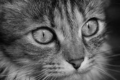 Domestic cat. A tabby furry pet with amber eyes. Stock Images
