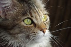 Domestic cat. A tabby furry pet with amber eyes. A furry face of a domestic cat. A small tabby little pet with amber eyes and big whiskers Royalty Free Stock Images