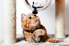 Domestic Cat tan playing at home. Domestic animals stock photos
