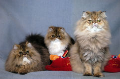 Domestic cat. Three domestic cats photo shoot Stock Image