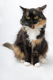 Domestic cat of three colours Royalty Free Stock Photography