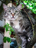 Domestic cat on the tree. The domestic cat is a mammal of the family Felidae of the Carnivora. Previously a domestic cat was often seen as separate biological royalty free stock photos