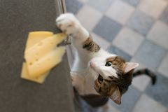 Domestic cat trying to steal slice of cheese from a table. royalty free stock image