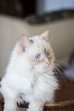 Domestic cat with turquoise blue eyes. Looking away Royalty Free Stock Photo