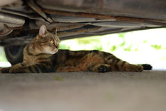 Domestic cat - under the car Stock Photo
