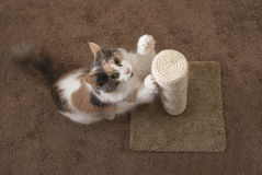 Domestic Cat using scratching post - Landscape. A domestic cat (muted calico) using scratching post. claws are visible Stock Photo