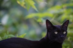 Way beyond a feline look. Domestic cat in vigil watching birds fly through the yard Royalty Free Stock Photography