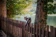 Domestic cat walking on wooden fence. River background Royalty Free Stock Photography
