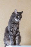 Domestic cat on wall background Royalty Free Stock Photo