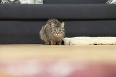 A domestic cat watches intently and looks at the camera. A house cat lies on a wool carpet on the floor and looks up Royalty Free Stock Images